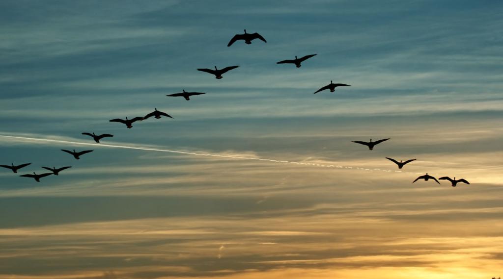 Leer van de wijsheid van ganzen. Training krachtig en bevlogen leiderschap
